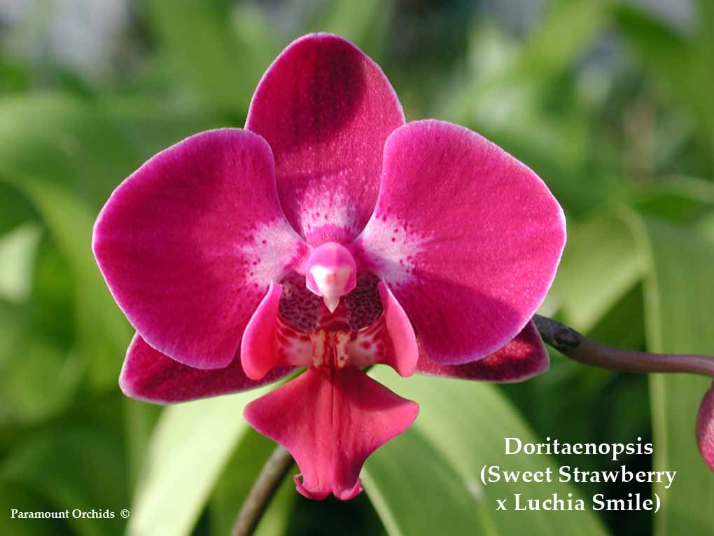 Sweet Strawberry Models http://www.paramountorchids.com/Doritaenopsis.html